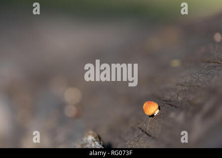 Small fungus on wood of a fallen tree in pine forest. - Stock Photo