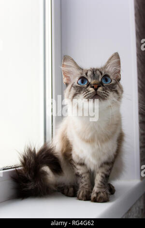 cute fluffy cat with blue eyes sititng on a window sill portrait - Stock Photo