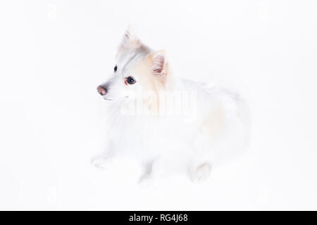 young dog sitting with white and beige fur - Stock Photo