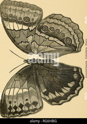 . The butterflies of India, Burmah and Ceylon. A descriptive handbook of all the known species of rhopalocerous Lepidoptera inhabiting that region, with notices of allied species occurring in the neighbouring countries along the border; with numerous illustrations. Butterflies; Butterflies; Butterflies. 310 NYMPIIALID^. MORPHINE. STICHOPIITIIALMA.. Please note that these images are extracted from scanned page images that may have been digitally enhanced for readability - coloration and appearance of these illustrations may not perfectly resemble the original work.. Marshall, G. F. L. (George F - Stock Photo
