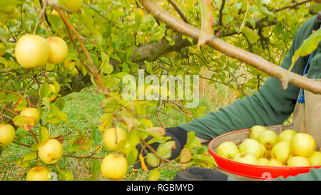 a farm worker places freshly harvested golden delicious apples into a picker's bag in huonville, tasmania - Stock Photo