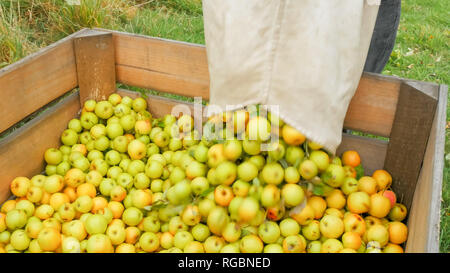 a worker empties a bag of golden delicious apples into a wooden bin in huonville, tasmania - Stock Photo