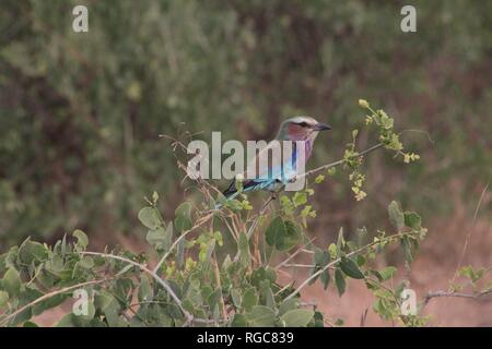 Lilac-breasted Roller (Coracias caudata) roosting in the thornbush savannah of Tsavo East National Park, Kenya. - Stock Photo