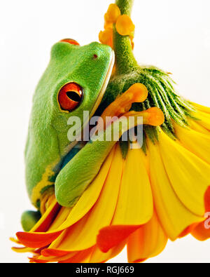 Red Eyed Tree Frog on Gerber Daisy - Stock Photo