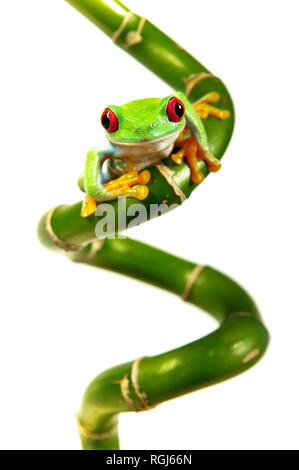 Red Eyed Tree Frog on Curly Bamboo - Stock Photo