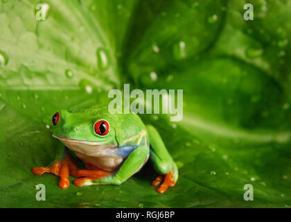 Red Eyed Tree Frog on Green Leaf with Water Drops - Stock Photo