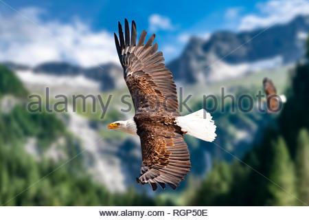 Zwei Weißkopfseeadler fliegen in großer Höhe am Himmel und suchen Beute. Es sind Wolken am Himmel aber es herrscht klare Sicht bei strahlender Sonne. - Stock Photo
