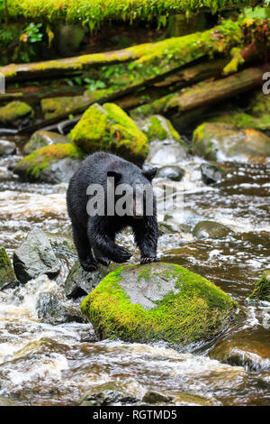 Black Bear fishing on rocks, Ursus americanus, at Thornton Creek, Vancouver Island, British Columbia, Canada. - Stock Photo