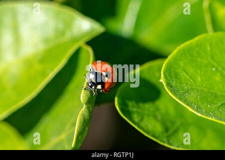 7 spotted ladybird (Coccinella septempunctata) on a green leaf - Stock Photo