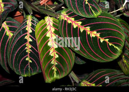 Prayer plant (Maranta leuconeura) - Stock Photo