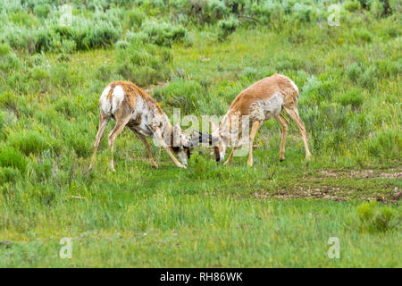 fighting pronghorn bulls in Lamar Valley of the Yellowstone National Park - Stock Photo