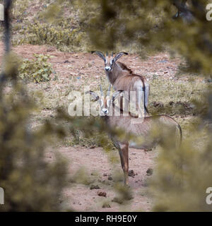 Roan antelope in Kruger National park, South Africa ; Specie Hippotragus equinus family of Bovidae - Stock Photo