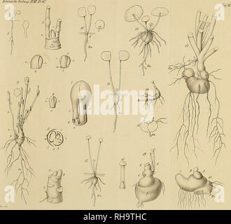 . Botanische Zeitung. Plants; Plants. Jfofarusi. CySc/i.-mät Vt/u. Please note that these images are extracted from scanned page images that may have been digitally enhanced for readability - coloration and appearance of these illustrations may not perfectly resemble the original work.. Mohl, Hugo von, 1805-1872; Schlechtendal, D. F. L. von (Diederich Franz Leonhard), 1794-1866. Berlin : A. Förstner - Stock Photo