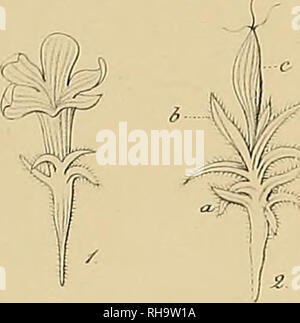 . Botanische Zeitung. Plants; Plants. Botanisc/u!. ZeitungJT.Jfp/4. ./ #• /ä/'/f. Please note that these images are extracted from scanned page images that may have been digitally enhanced for readability - coloration and appearance of these illustrations may not perfectly resemble the original work.. Mohl, Hugo von, 1805-1872; Schlechtendal, D. F. L. von (Diederich Franz Leonhard), 1794-1866. Berlin : A. Förstner - Stock Photo