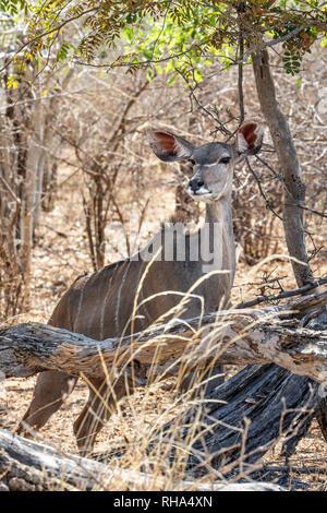 Female Greater kudu -Tragelaphus strepsiceros - standing alert behind fallen log; Bwabwata National Park - Stock Photo