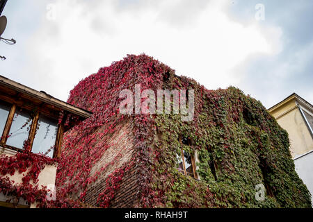 Old residential building in downtown Sofia, amazingly overgrown with Wild Grapes, thousands of leaves with green and red autumn colors, Bulgarian fall - Stock Photo