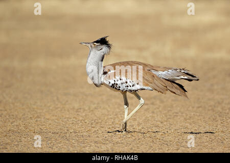 Male kori bustard (Ardeotis kori) in natural habitat, Kalahari desert, South Africa - Stock Photo