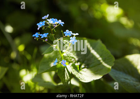 Little blue forget-me-not flowers on spring meadow in the sunlights - Stock Photo