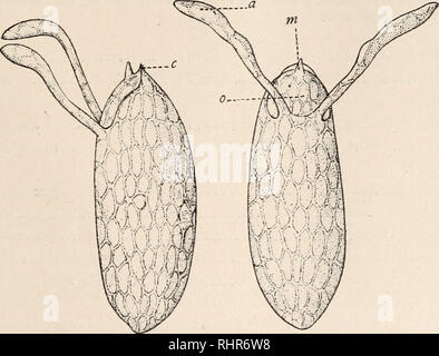 . The Biological bulletin. Biology; Zoology; Biology; Marine Biology. REPRODUCTION IN DROSOPHILA. 219 process is repeated in the spermathecae. Here it is still easier to follow their entrance, for the ducts of these receptacles are very thin and transparent. In no case were spermatozoa observed entering these receptacles before the ventral receptacle was filled with spermatozoa. This might be explained by the position of the orifice leading to the latter, which, as already stated, is placed a little posterior to the openings of the spermathecse, and per- haps also by the partial closure of the - Stock Photo