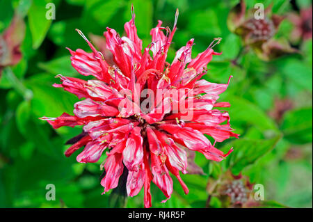 Rot bl?hende Monarde Mahogany, auch Indianernessel, Sommerblumenbeet, - Stock Photo