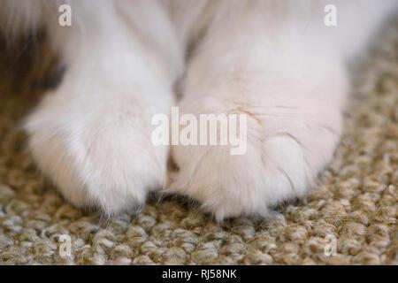 Hauskatze, Felis silvestris catus, Pfoten, Detail - Stock Photo