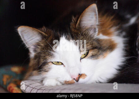 Hauskatze, Felis silvestris catus, Portrait, frontal, Blick Kamera - Stock Photo