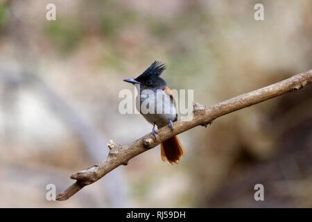 Indian paradise flycatcher, Terpsiphone paradisi, Sinhagad valley, Pune district, Maharashtra, India - Stock Photo