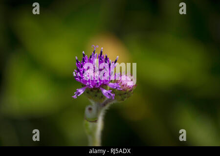 Blue Sonki, Adenoon indicum, Kaas, Satara district, Maharashtra, India - Stock Photo