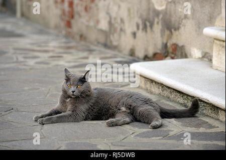 eine graue Katze liegt auf dem Boden - Stock Photo