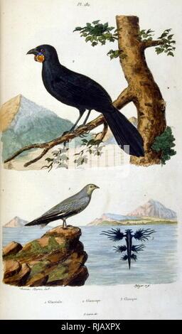 Illustration of birds, from Dictionnaire pittoresque d'histoire naturelle et des phenomenes de la nature by Felix-Edouard Guerin, 1799-1874 - Stock Photo