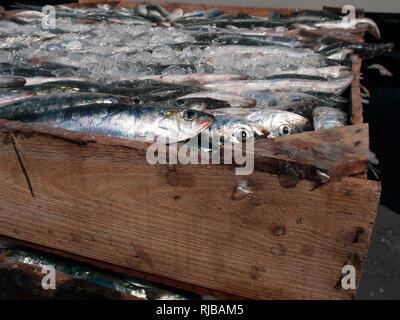 Wood crate of freshly caught sardines. Atlantic Ocean, Galicia, Spain - Stock Photo