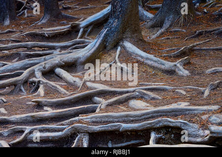A horizontal image of exposed tree roots on a path at Sunwapta Falls on the Athabasca River in Jasper National Park Alberta Canada. - Stock Photo