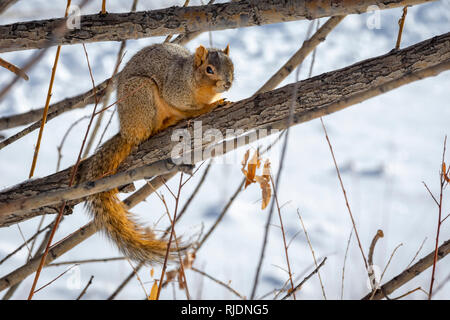 Eastern Fox Squirrel (Sciurus niger) resting in winter, Castle Rock  Colorado US. Photo taken in January. - Stock Photo