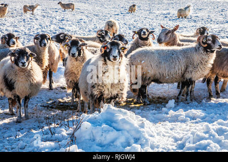 Sheep in a snow-covered field in Wiltshire. - Stock Photo