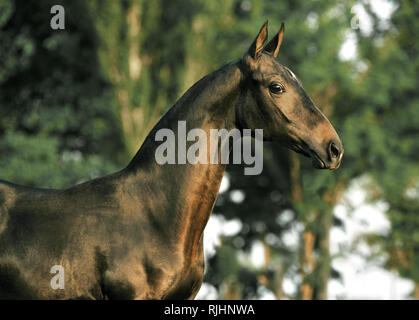 Surprised dark bay Akhal Teke horse beside trees in summer looking at the camera. Horizontal, side view, portrait. - Stock Photo