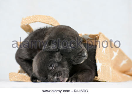 Mixed-breed dogs. Two Puppies (4 weeks old) lying in a bag. Studio picture against a white background. Germany - Stock Photo