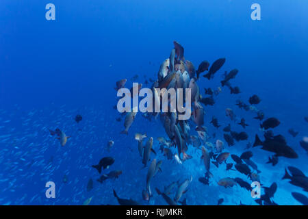 Closeup of school of red snapper fish spawning - Stock Photo