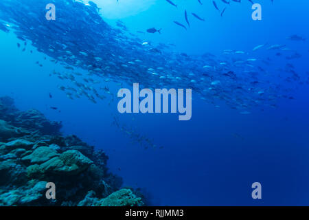 Huge school of spawning red snapper curl over coral reef - Stock Photo