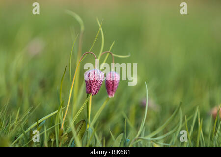 The beautiful fritillary named Snake's Head with a pink and purple chequered flower with a calm green background. - Stock Photo