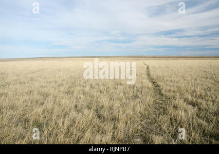 Buffalo trail on a dry lake bed on the Great Plains in spring. American Prairie Reserve south of Malta in Phillips County, Montana. - Stock Photo