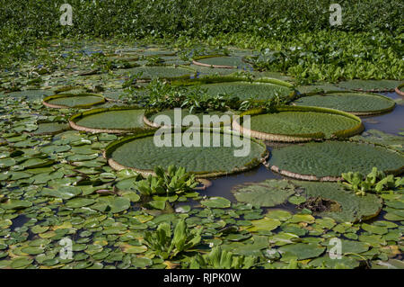 Water lilies and tropical plants on the river in Rosario Argentina - Stock Photo