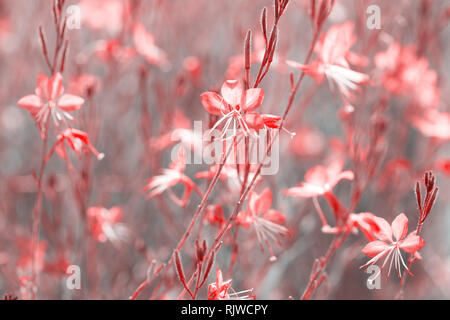 Small flowers of coral color   ( Siskiyou Pink Gaura)  in the sunlight at summer morning.  Toned image. Selective focus. - Stock Photo