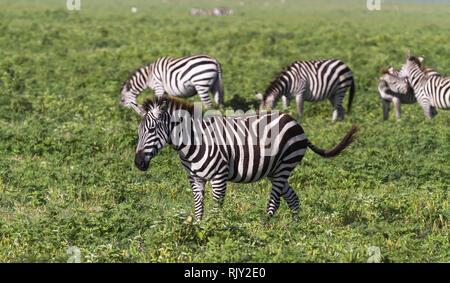 Small herd of zebras in NgoroNgoro crater. Tanzania, Africa - Stock Photo