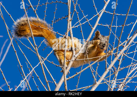 Eastern Fox Squirrel (Sciurus niger) at top of a Lance-leaf Cottonwood tree in winter, Castle Rock Colorado US. Photo taken in February. - Stock Photo