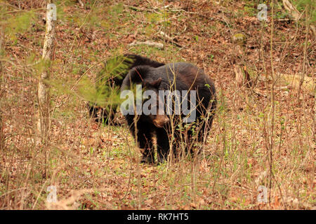 Black Bear in the Cades Cove section of Great Smokey Mountains National Park, Tennessee - Stock Photo