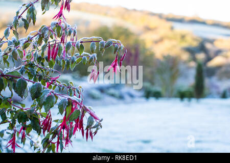 A frost covered fuchsia, with red flowers is on the left with space on teh right for text.  Shows a British garden in winter time. - Stock Photo