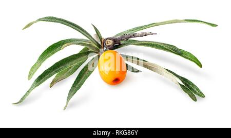 Sea buckthorn. Fresh ripe berry with leaves isolated on white background. - Stock Photo