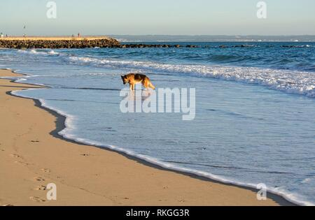 Happy German Shepherd dog plays on the beach on a sunny winter afternoon in January in Mallorca, Spain. - Stock Photo
