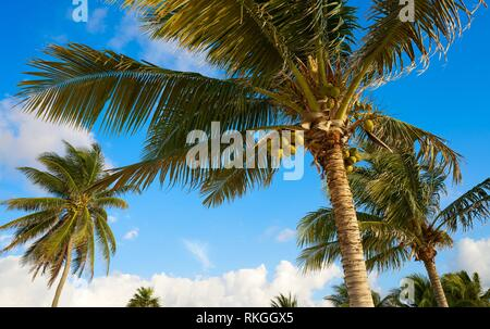 Caribbean coconut palm tree in Riviera Maya Mayan Mexico. - Stock Photo