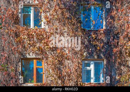 Facade of the house is braided with wild grapes. The vine in the fall, the windows of the house. - Stock Photo